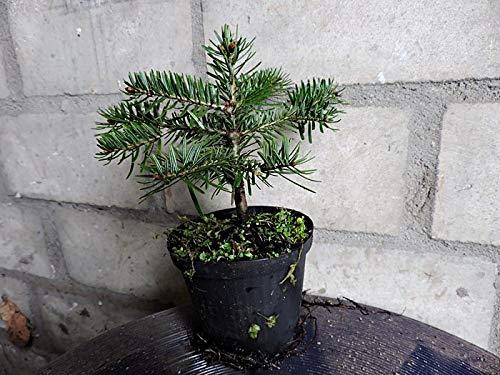 10 Stk. Nordmanntanne Borshomi - (Abies nordmanniana Borshomi) Topfware 8-12 cm 3 jährig