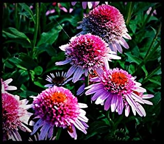 Butterfly Kisses Coneflower Flower Seed Pack with Planting Instructions