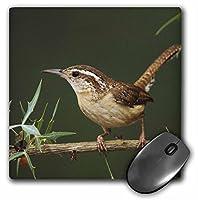 3drose Carolina Wren Bird On Agarita、ヒル国テキサス、na02rnu0063、Rolfナスバウマーマウスパッド(MP 84231_ 1)