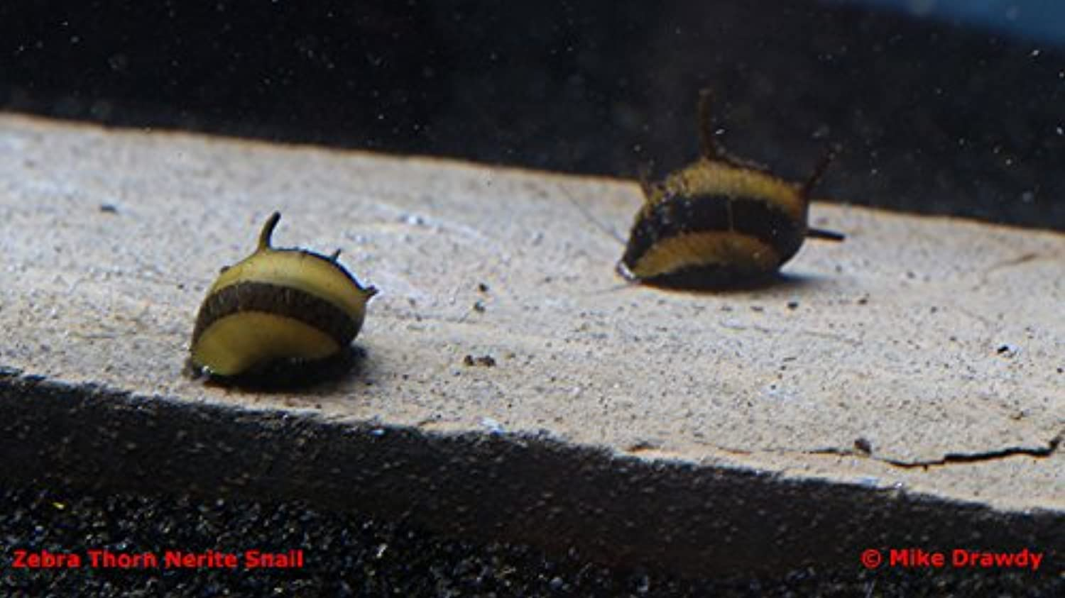 (12) Zebra Thorn Nerite Snails  Neritina natalensis  Will not reproduce in freshwater  by Imperial Tropicals