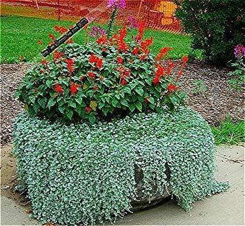Vistaric 200 Pcs/Sac Dichondra Repens Pelouse Semences Argent Herbe Graines Jardin Des Plantes Bonsaï Pot De Fleur Pour La Maison Jardin Sementes Blanc