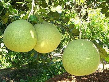 Samen Keimung: 50 Samen Pomelo, Pomelo Grapefruit, Citrus Maxima, Früchte Samen M27