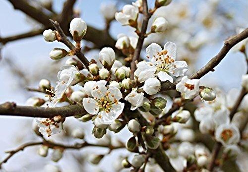 Schlehe Schwarzdorn Prunus spinosa Topf gewachsen winterhart und schnittverträglich (80-100cm)