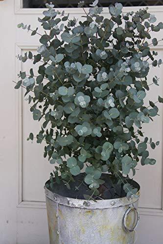GETSO 100pcs Eukalyptus Bonsai blau Eukalyptus Mini exotischer Baum Bonsai Tropische Verzierungen Pflanzen: 100 Stück