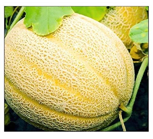 50 Hales Best Jumbo Cantaloupe   Non-GMO   Fresh Garden...