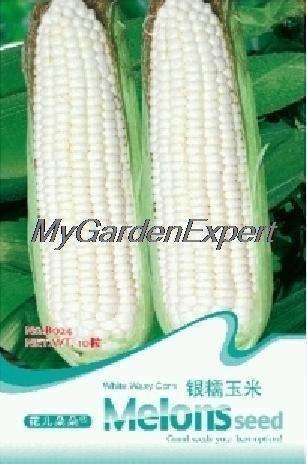 20pcs vente chaude / lot blanc cireux maïs Graines vertes Semences Potagères bricolage intérêt jardin