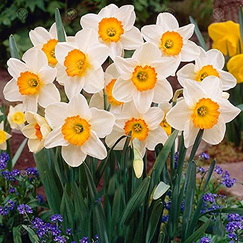 Narciso Bulbs/Exotic Misterious Surprise Gift BMany Elegante Designs-11 Lampadine