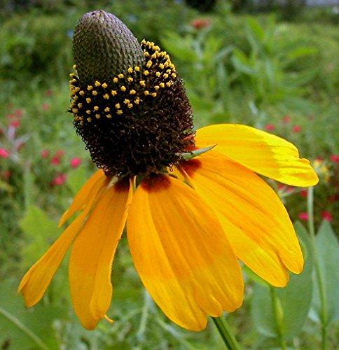 75ct Samen von Sonnenhut Samen, Gelb Clasping, Erbstück Wildsamen, Staude