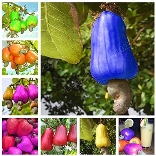 GETSO Neue Gartenpflanzen 5 Stück Mini Cashew-Baum Bonsai Anacardium Ocntale Seltene Außen Pflanze Baum Topffrucht Germ Freies Verschiffen: Mix