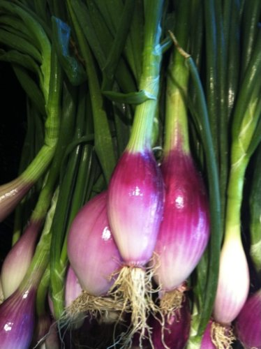 Spring Onion 'Rossa Lunga Di Firenze' (Allium Fistulosum L.) Vegetable Plant Seeds, Medium Early Heirloom