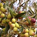 """Olive Trees""""Arbequina"""" (Black) Includes Four (4) Live Plants"""