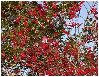 Winterberry Holly 'Southern Gentleman'