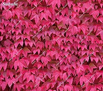 Semences rouge Bonsai feuilles Plantes vivaces jardin extérieur vigne Beatiful décoration de fêtes Pot de fleurs jardinières 30 Pcs