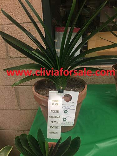 CUSHY Kyz KUV 5PCS Viola Clivia Seed Agapanthus noi Seeds