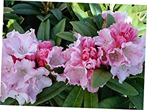 DAG 1 Bare Root Starter Plant Rhododendron 'Mardi Gras' - RK410