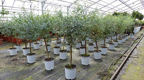 Eucalyptus Gunni Stamm Eukalyptusbaum, 70-90 cm, Pflanze winterhart