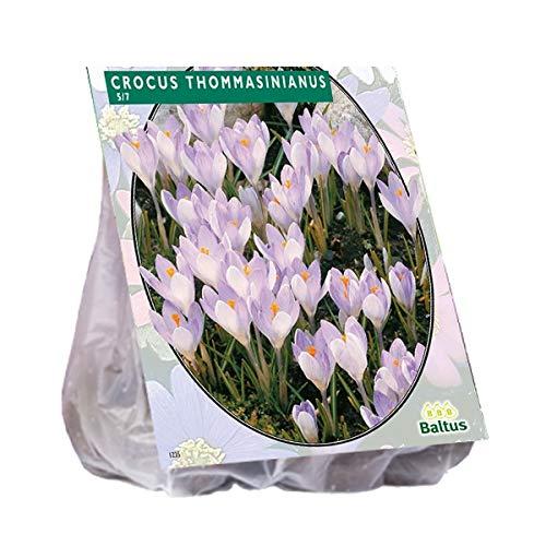 Crocus Tomassinianus 40 Stück Krokusse Blumenzwiebel