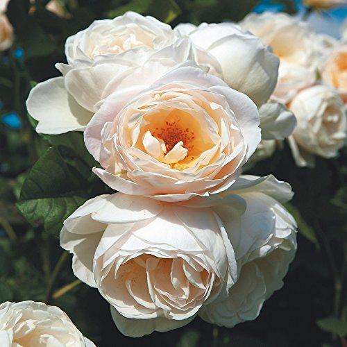 Kletterrose Uetersener Klosterrose creme-weiß - Kletter-Rose duftend - Pflanze für Rankhilfe wurzelnackt/Wurzelware von Garten Schlüter - Pflanzen in Top Qualität