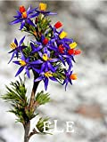 New Arrival 2017!! 20 seeds/pack Blue Tinsel Lily Seeds flower seed Bonsai Flowers hot sale For Garden Home