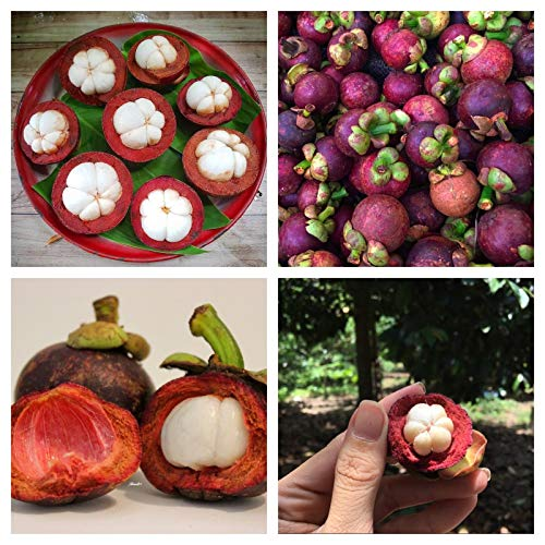 Portal Cool Las semillas de mangostán mangostán árbol frutal de la herencia Semillas orgánicas 10Pcs / Bolsa
