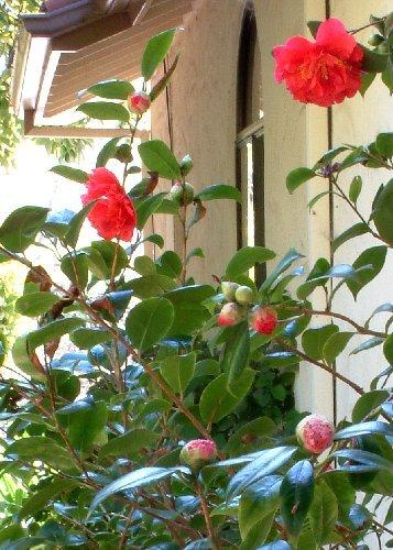 TROPICA - Camélia du Japon/rouge (Camelia japonica) - 4 graines- Magie tropicale