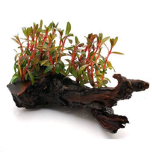 (水草)アラグアイア レッドロタラ(水上葉) 流木付 Sサイズ(無農薬)(1個) 本州・四国限定[生体]