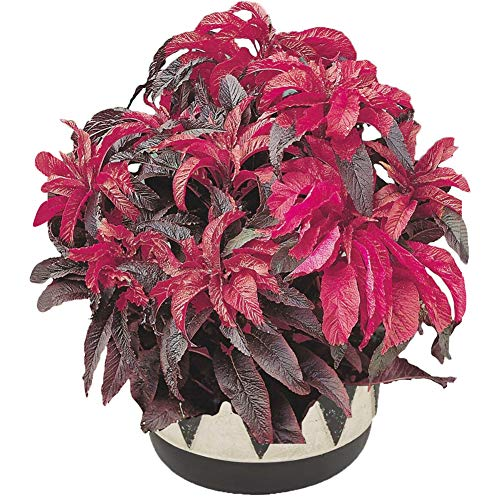 Amaranthus Tricolor Seeds 40+ Fountain Plant Organic Flower Vegetables Easy to Grow Seeds for Planting Garden Home Farm