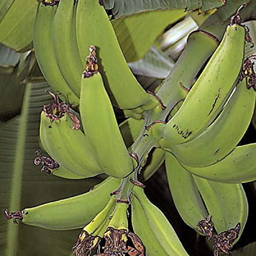 1 Starter Plant of Musa Dwarf Puerto Rican Banana Tree