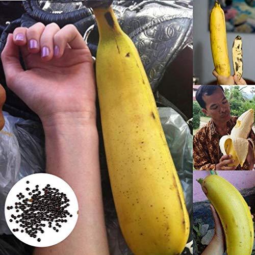 AIMADO Samen-Rarität 50 Stück MAX-Banane Samen Winterhart mehrjährig saatgut bio Obst, dekorativer Blickfang im Gartenbeet & im Pflanzkübel.