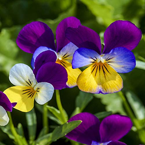 Outsidepride Viola Johnny Jump Up Plant Flower - 5000 Seeds
