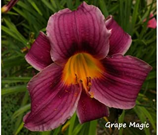 6 Fans of Grape Magic Daylily AVAILABLE APRIL 2015
