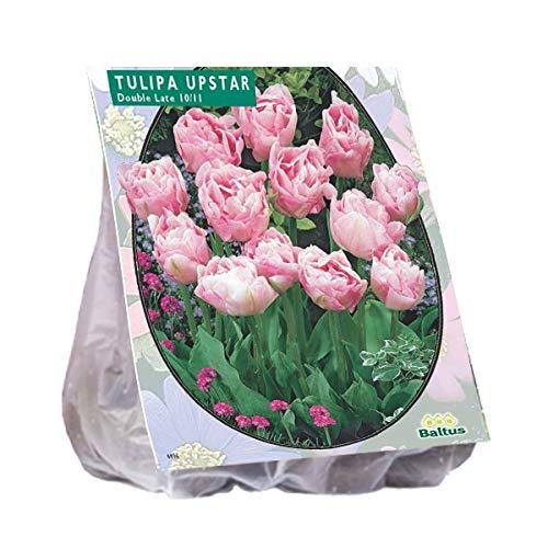 Tulipa Dubbel Laat Upstar 25 Stück Tulpen Blumenzwiebel