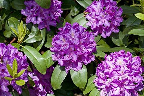 Rhododendron Cataw. Grandiflorum Alpenrose lila 30-40cm im Topf gewachsen