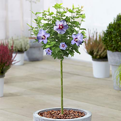 Hibiscus Oiseau Blue Tree | Deciduous Rose of Sharon Trees for Small Gardens | Standard Lollipop Stem | Potted Ornamental Plants (70-80cm (Incl. Pot))