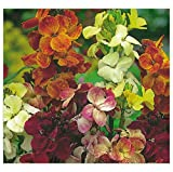 PREMIER SEEDS DIRECT WallFlower English - FAIR Lady Mix - 3 Gram ~ 1500 Seeds
