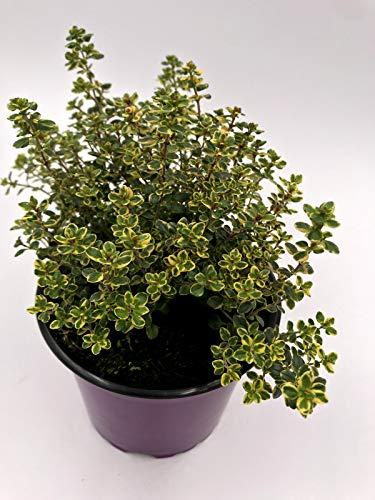 Zitronen Thymian Kräuter Pflanze Thymus citriodorus 4stk.