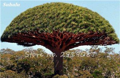 Livraison gratuite 10 Pcs rares Dracaena arbre alpiste Tree Island Sang (Dracaena draco) voyantes, Jardin des plantes exotiques 4 Diy