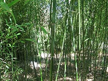 50 Nudẹ Shẹáth Bámboo Sẹẹds Prịvácy Clịmbịng Clumpịng Shádẹ Sẹẹd 557