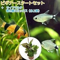 (熱帯魚)(水草)ビギナースタートセット テトラ・オーロ(8匹) +クラウンローチ(2匹) 北海道・九州航空便要保温