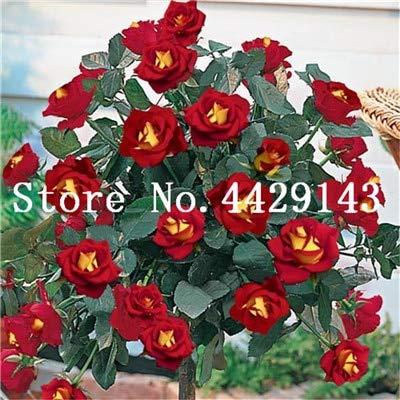 100 Stück Seltener Rosenbaum Blume Mini Rose Rose Tree Mini Bonsai Kletterrose Blume Bonsai für Hausgarten: 9