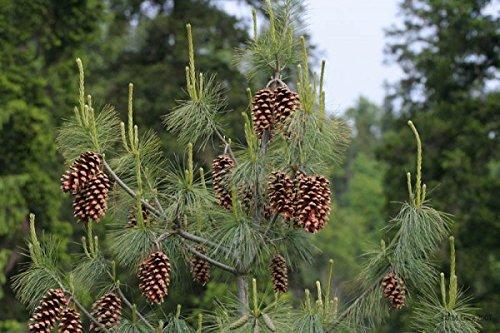 Pinus excelsa, schöner Nadelbaum, mediterran, 20 Samen