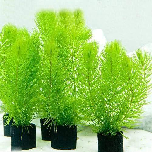 (水草)メダカ・金魚藻 マルチリングブラック(黒) マツモ ミニ(無農薬)(1個)