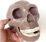 Model Medical Anatomy Skull Model - Pekingese Skull Head Model - Life Size Replica Skull Model - 1:1 Replica Human Skull Skeleton Model - Pvc Material - for Study Display Teaching Medical Mode