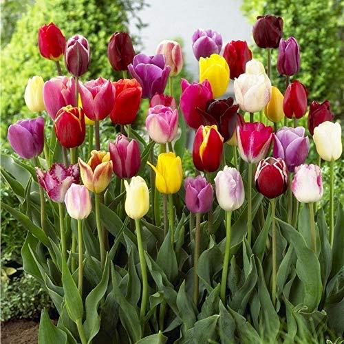 Promworld Semillas de Flores Paisaje para,Bulbos de tulipán-Tulipanes de Colores Mixtos_12 cm de Circunferencia,perennes Semillas de Flores