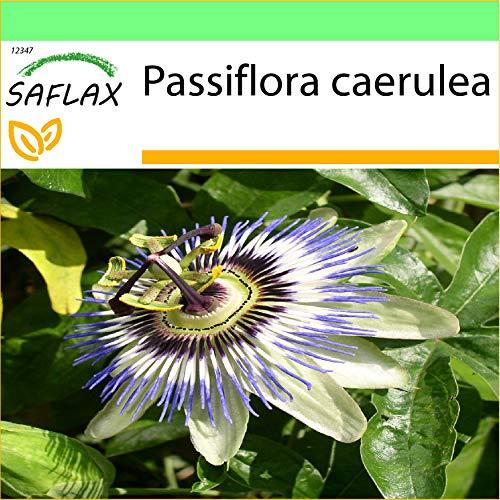SAFLAX - Jardin dans la boîte - Passiflore bleue - 25 graines - Passiflora caerulea