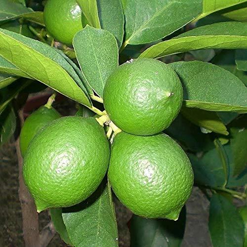 Limoenboom Perzische Limoen - Citrus latifolia - totale hoogte 70-100 cm - pot Ø 22 cm