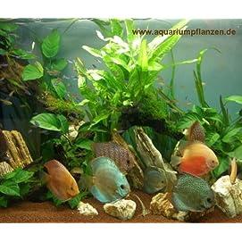 Mühlan Wasserpflanzensortiment für Diskusfreunde, südamerikanisch, temperaturbeständig, dekorativ inkl. Dünger
