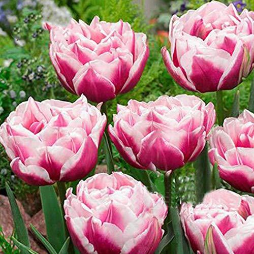 Beautytalk Samen 100pcs-Tulpenzwiebeln Tulpen Mischung Blumenzwiebeln