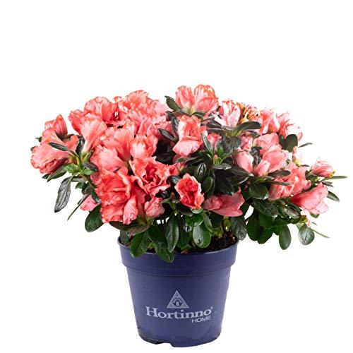 Indische Azalee D: 22,5-25 cm, rosa - Rhododendron simsii - Höhe ca. ?? cm, Topf-Ø 12 cm