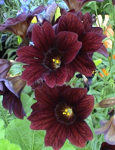 20 Samen der salpiglossis ROYALE Schokoladenblume (Buntglas)
